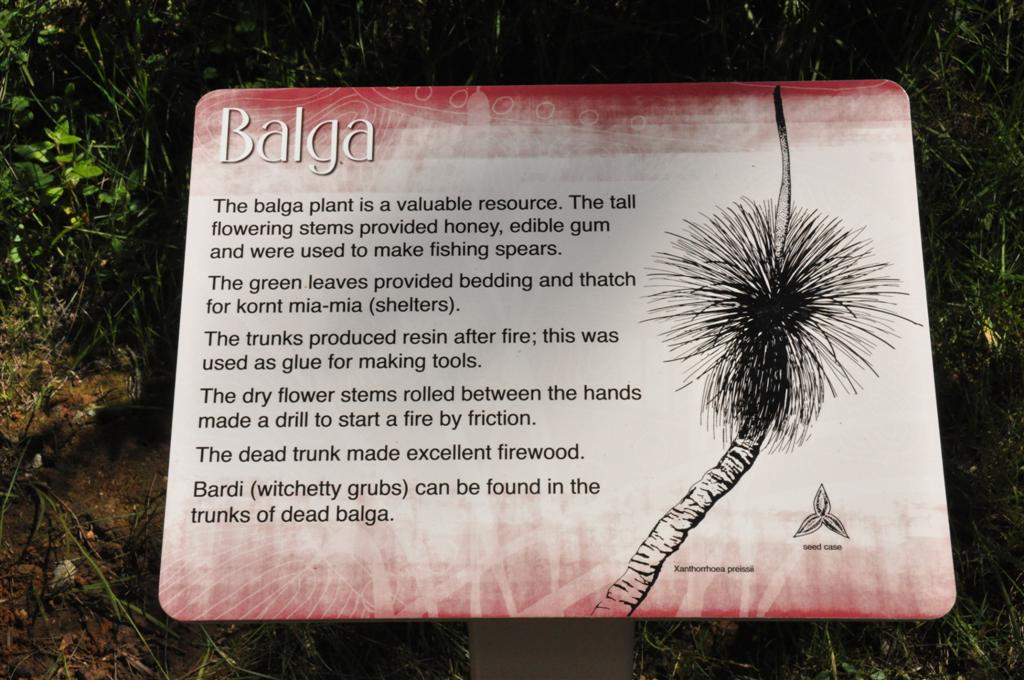 The Balga tree