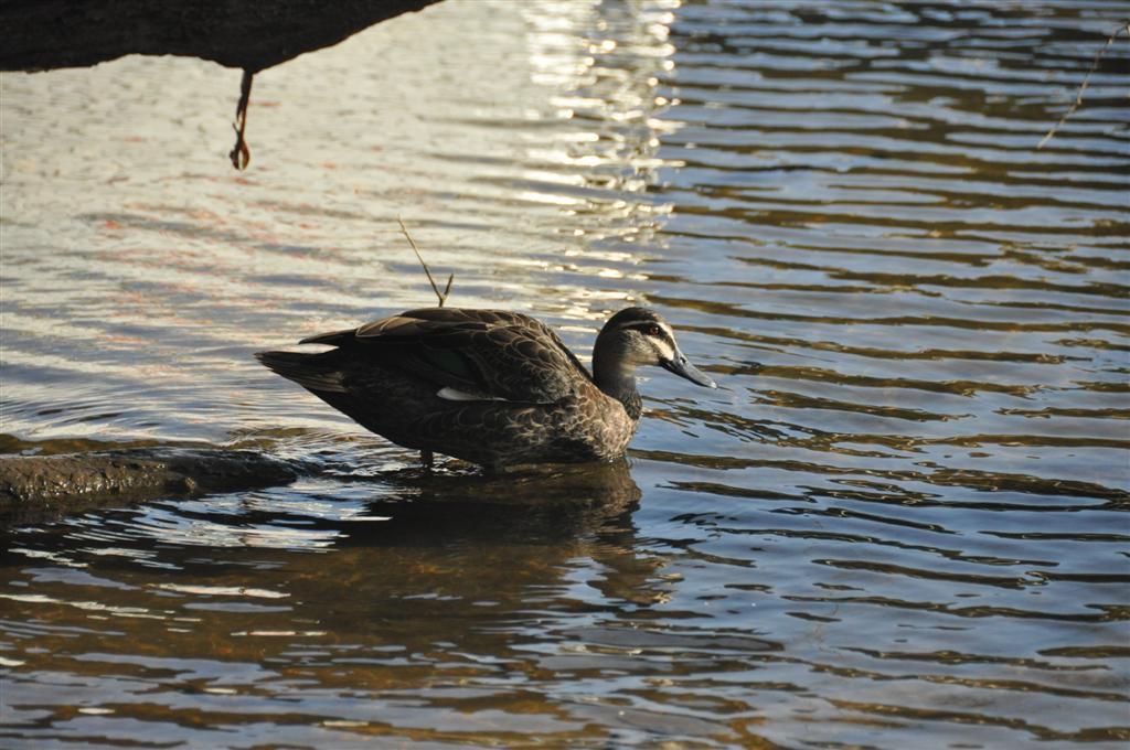 Blackwood River ducks