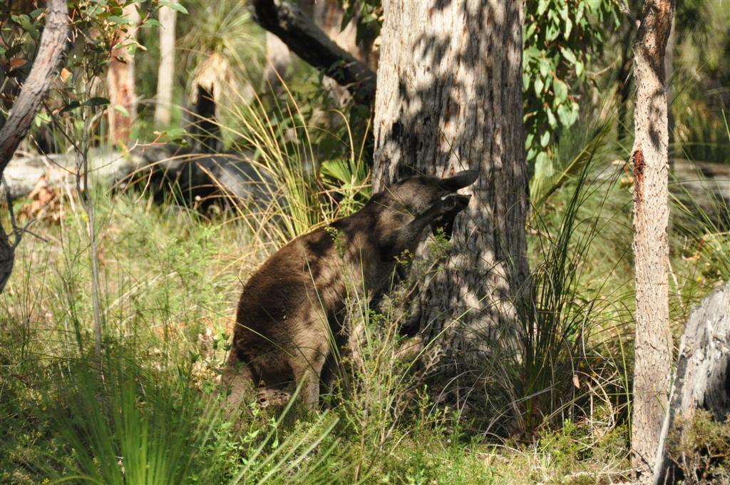 WA Kangaroo's