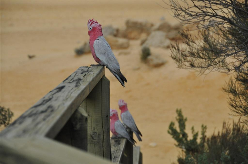 Galah's at the Pinnacles