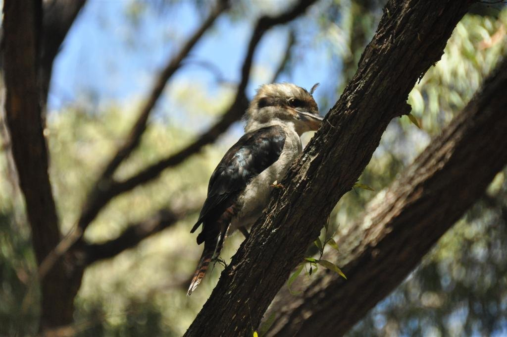 Kookaburra at Alexandra Bridge