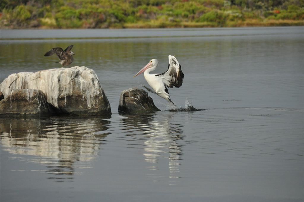 Bird fight in Augusta