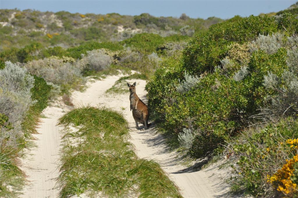 Kangaroo near Sandy Cape
