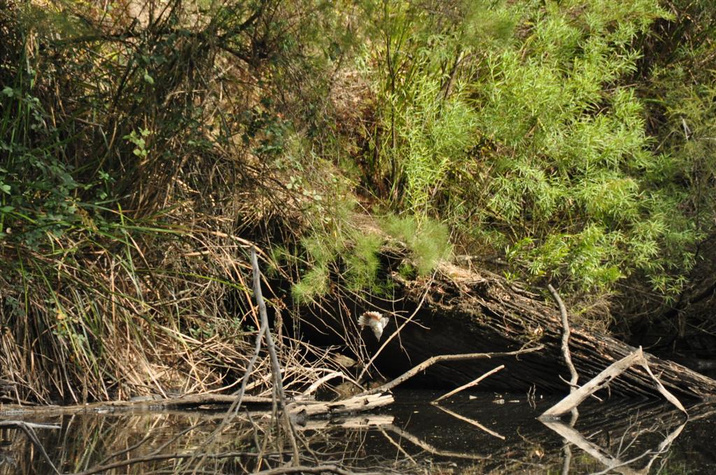 Kookaburra on the hunt