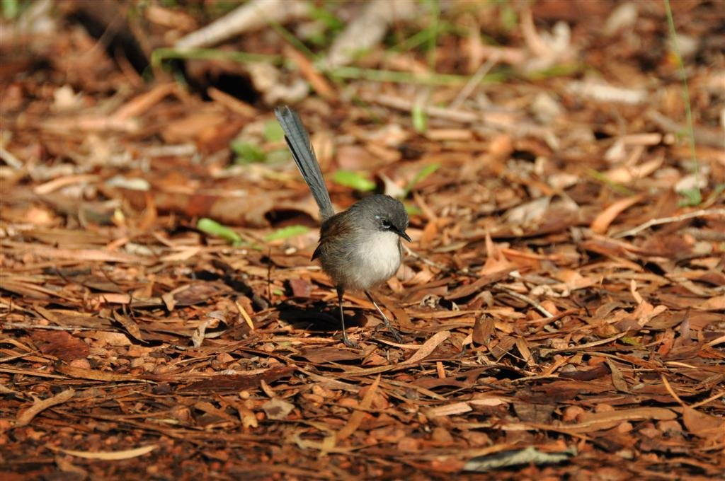 Photographing blue wrens in Pemberton