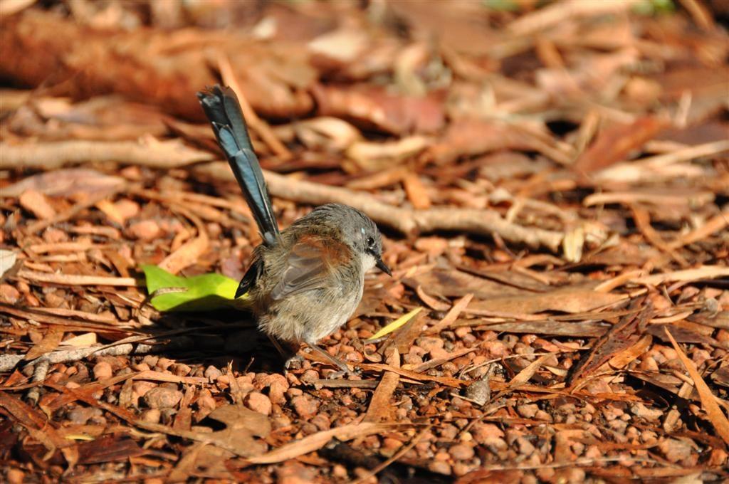 Blue Wrens in Pemberton