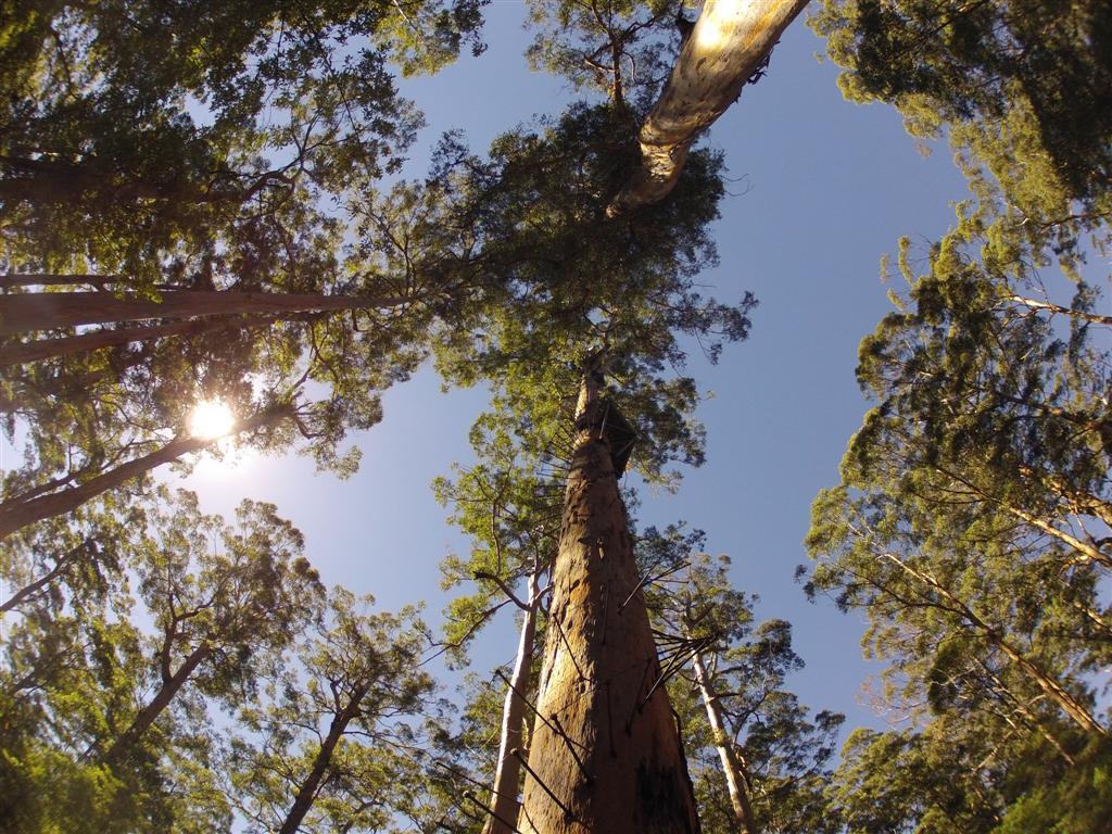 Huge Karri Trees in the south west