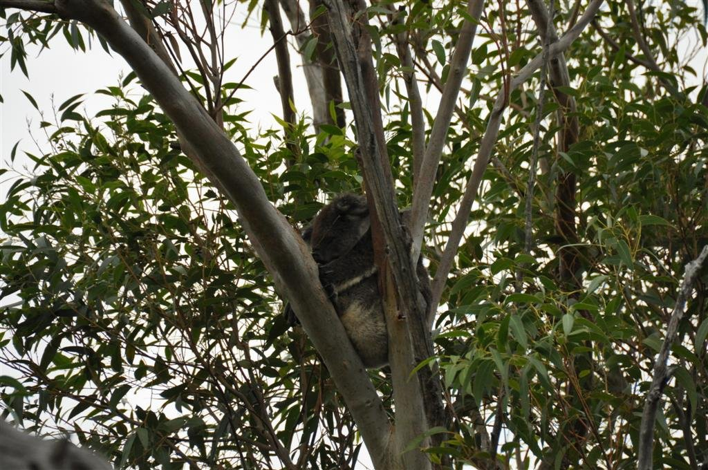 Koala in a tree at Yanchep National Park