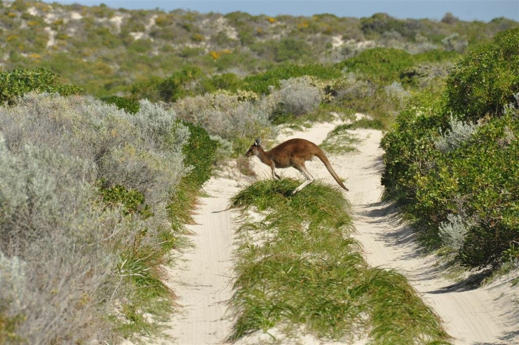 Kangaroo's at Sandy Cape