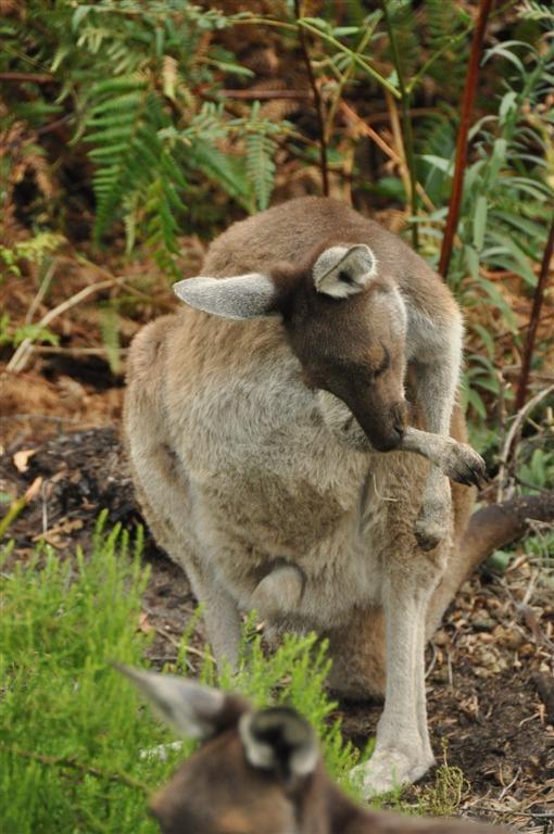 Local Kangaroo's