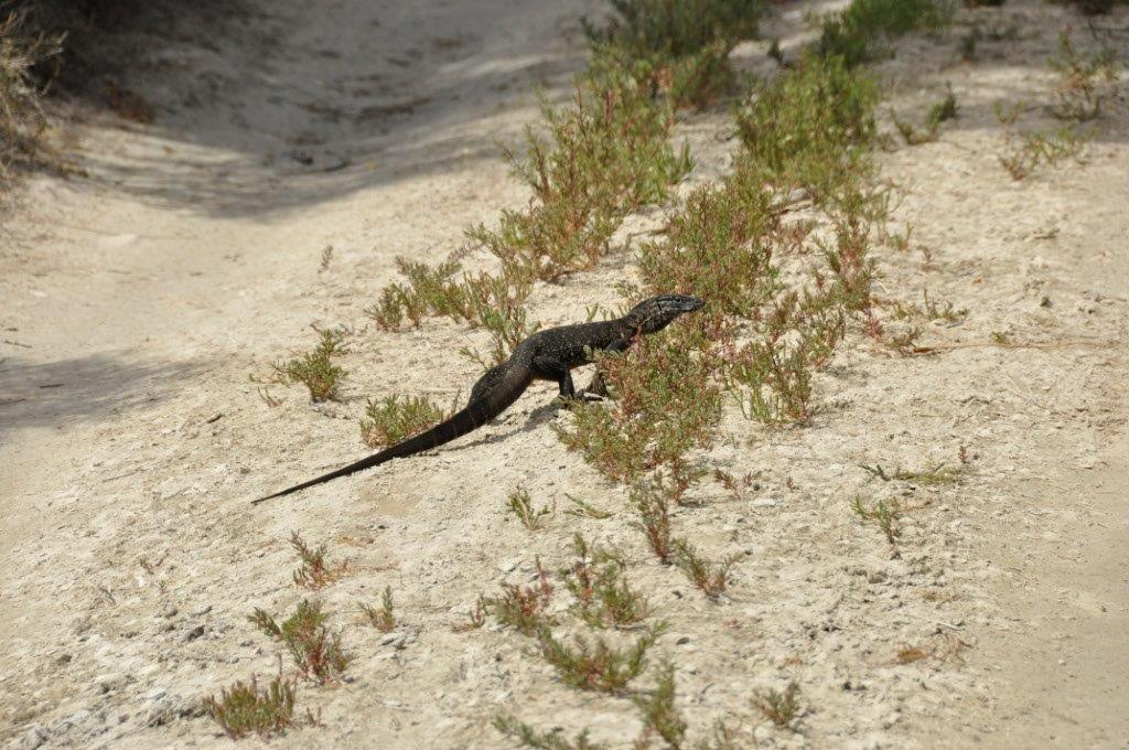 A Big Lizard in Esperance
