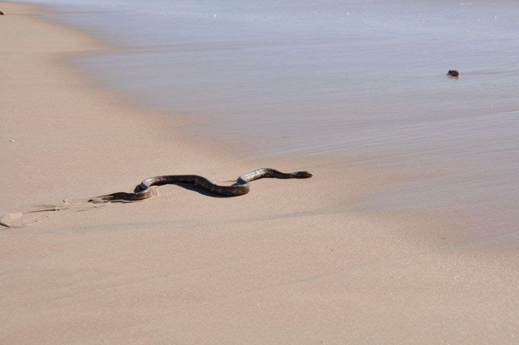 A Sea Snake at Denham