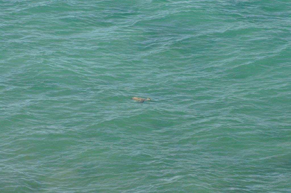 A Turtle at Cape Peron