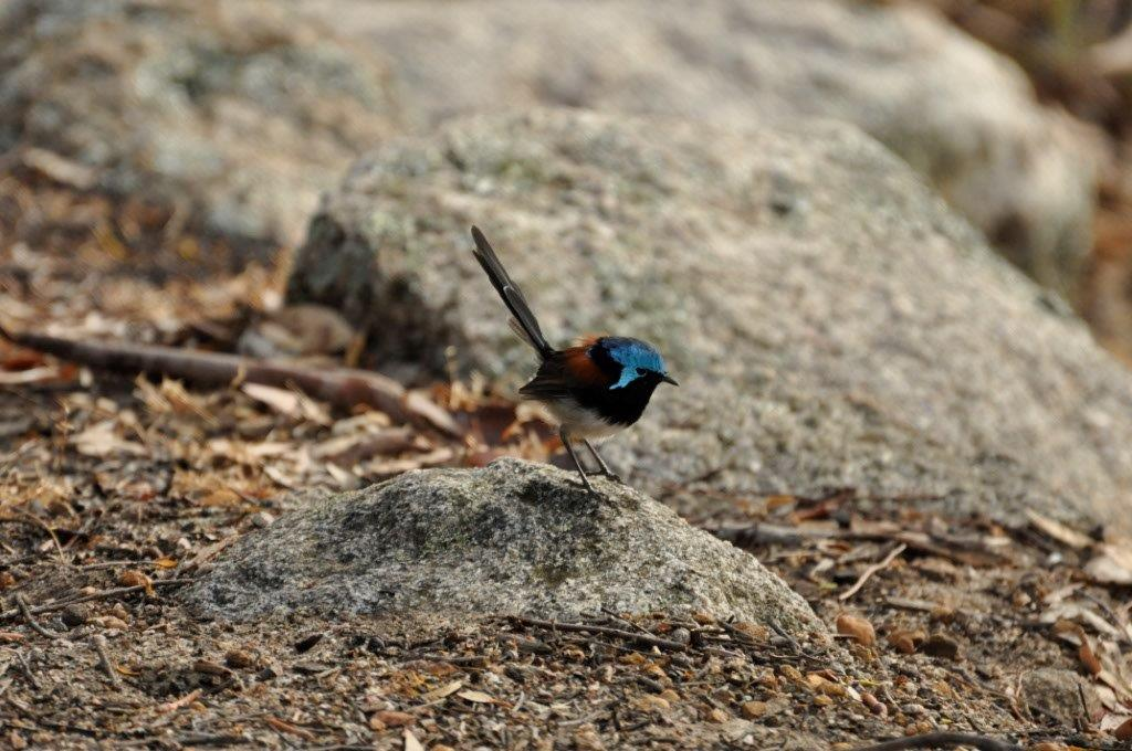 Fairy Wren in Albany