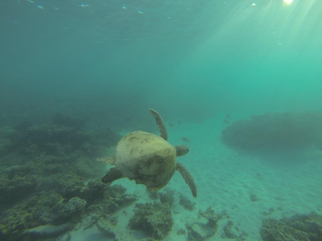 Gnaraloo Turtle