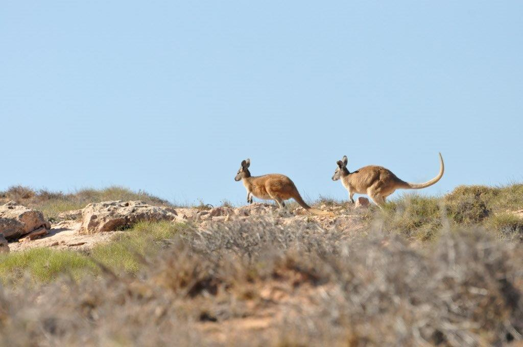 Kangaroos at Gnaraloo