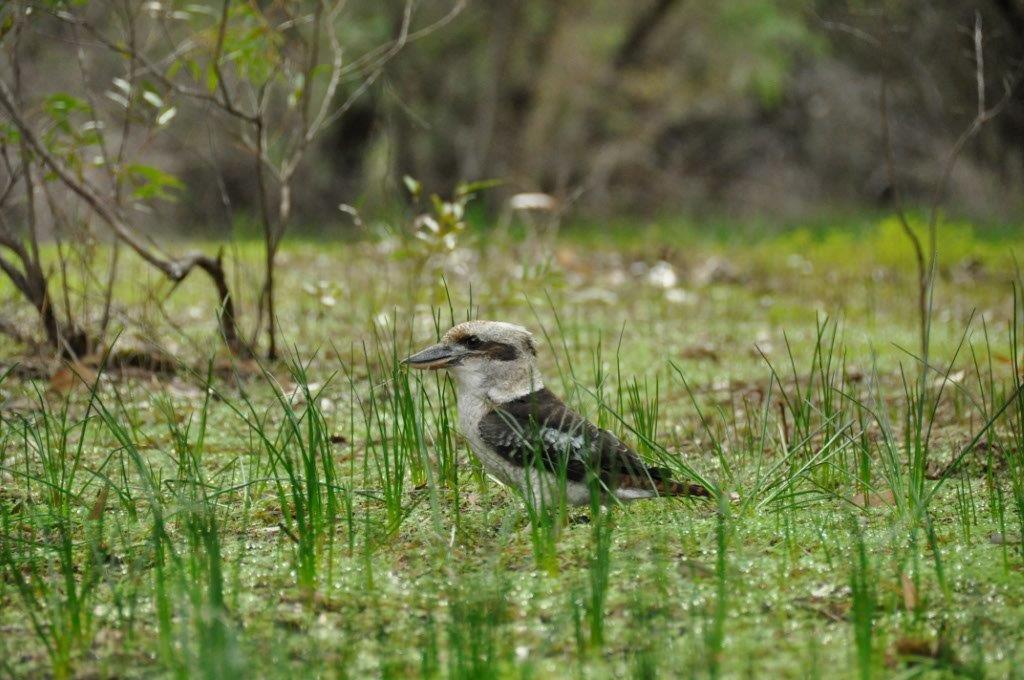 Kookaburra at Belvidere