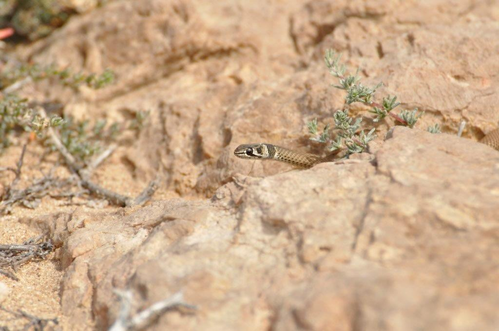 Little Snake at Gnaraloo