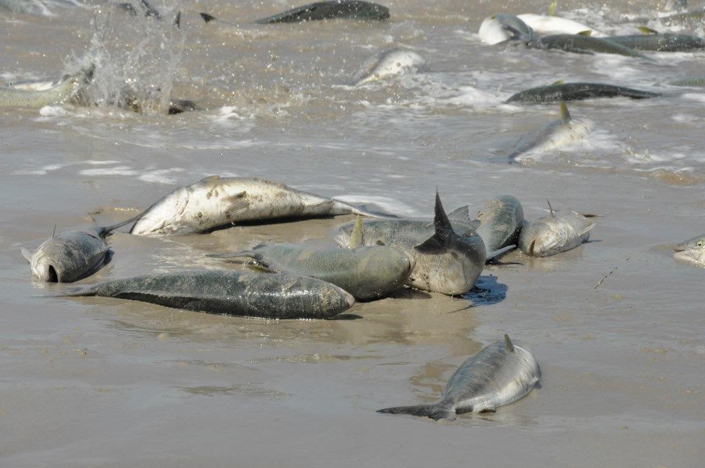 Parry Beach Salmon