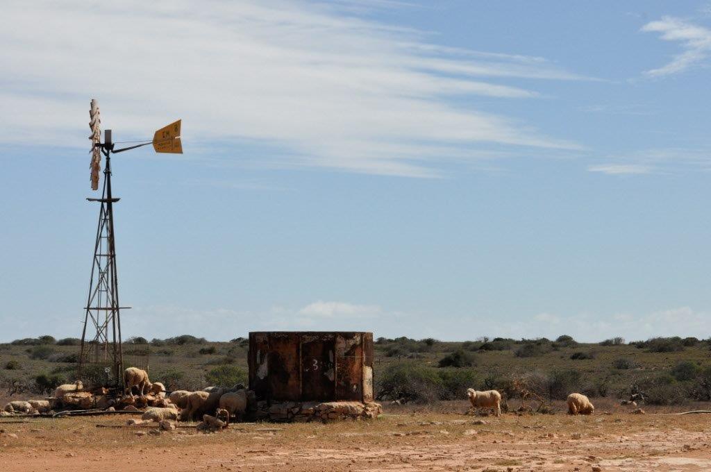 Sheep at Gnaraloo