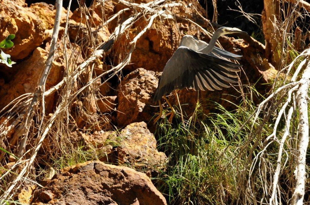 The Local Gorge Bird