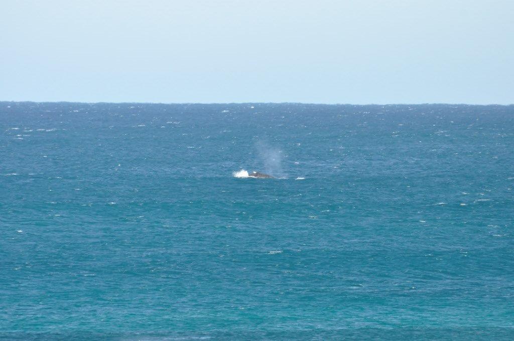 Whales at Gnaraloo