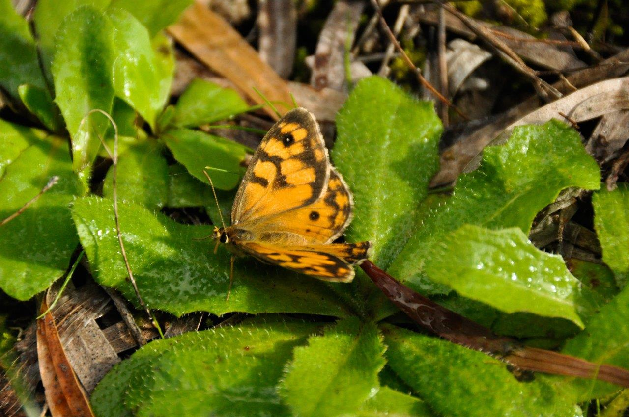 Butterfly in Nannup