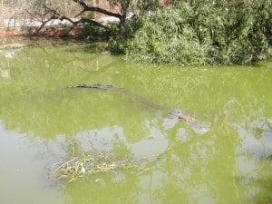 A hidden Crocodile