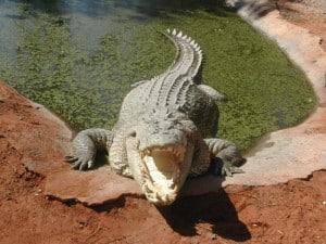 A huge crocodile being fed