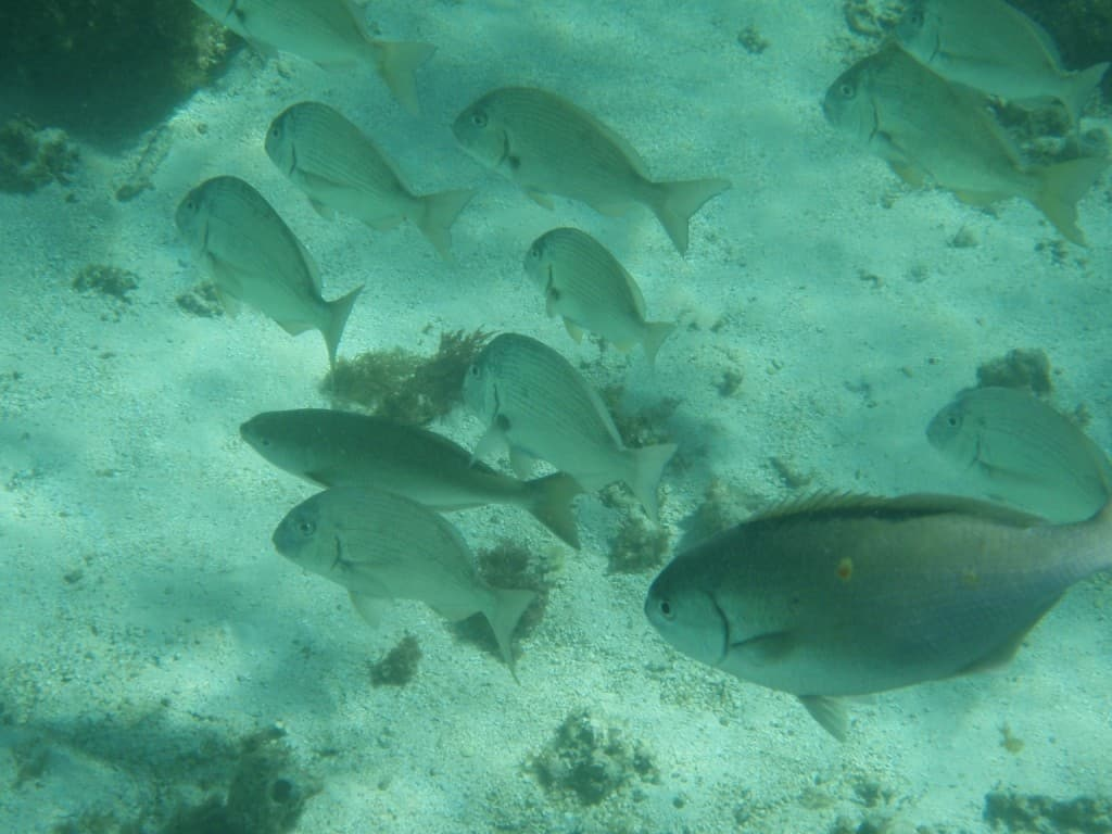 Just a few of the fish at Rottnest