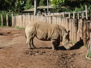A rhino at Perth Zoo