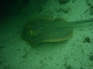 A spotted stingray