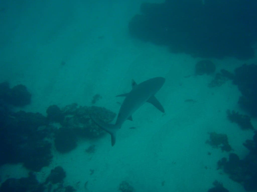 A small reef shark