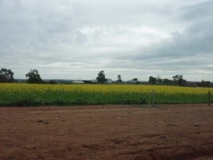 Canola Crop on the way