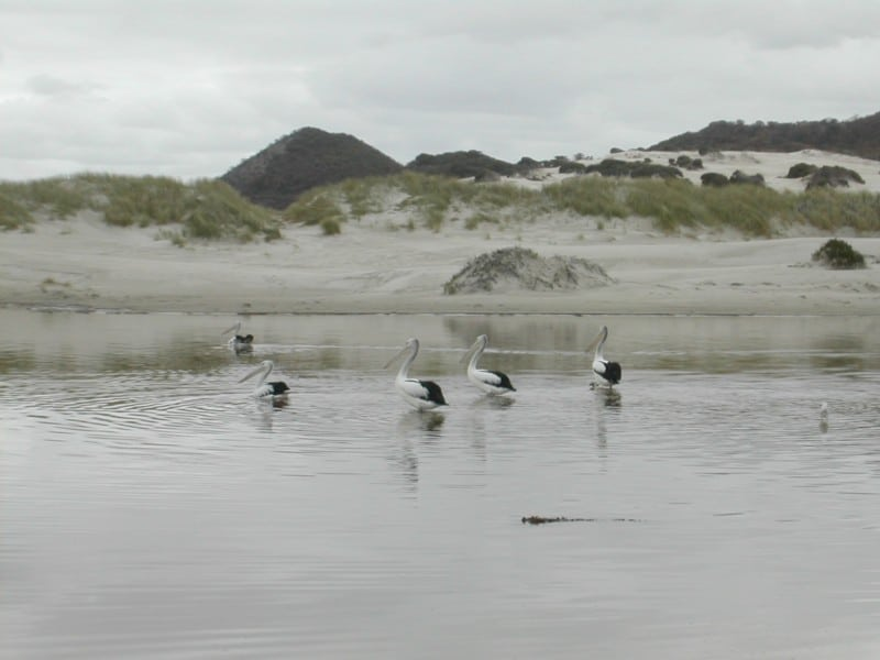 Pelicans relaxing at Peaceful Bay