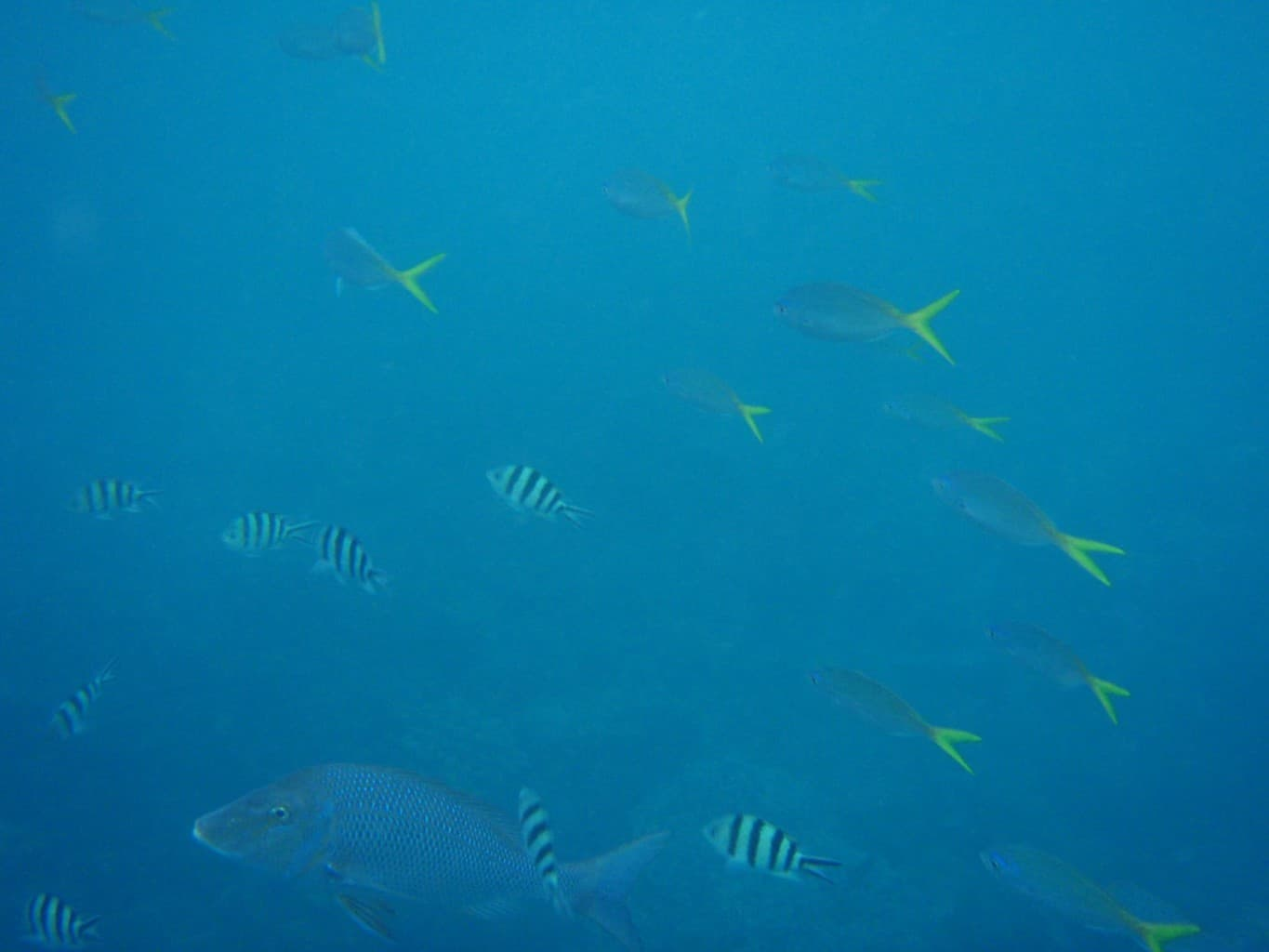 A few Golden Trevally at Coral Bay