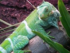 A bright green lizard