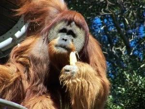 A big orangutan having a feed