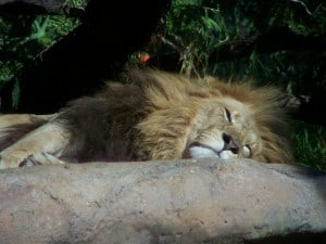 A sleeping lion