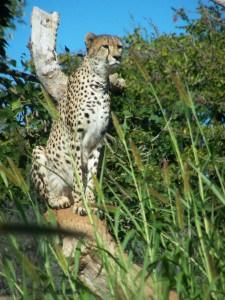 A vigilant Cheetah
