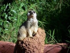 A Meerkat posing