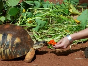 A huge tortoise being fed