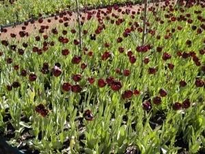 More Tulips at Araluen