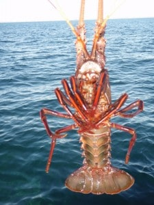 A Crayfish caught near Garden Island
