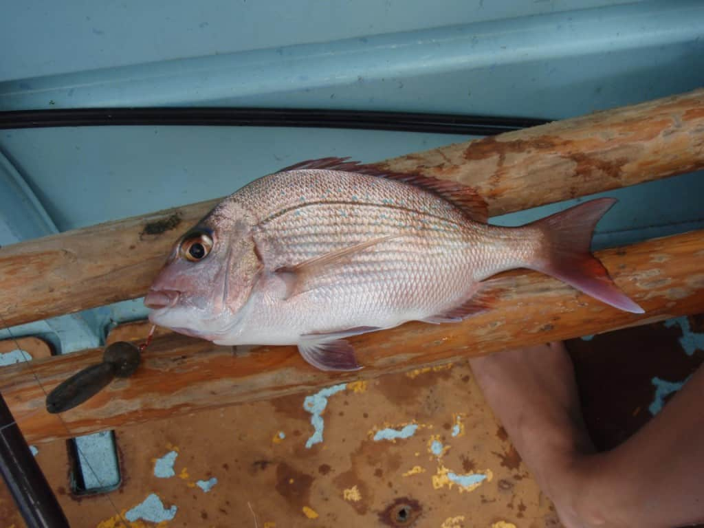 A small pink snapper