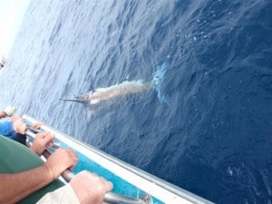 A nice 100kg Marlin