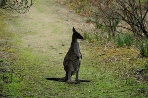 Kangaroo at Belvidere 300x199 Camping Near Perth