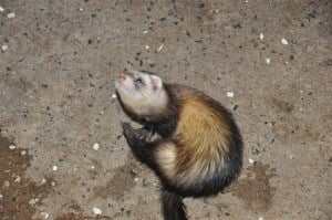 Ferreting around