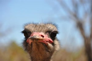 A funny looking Ostrich!