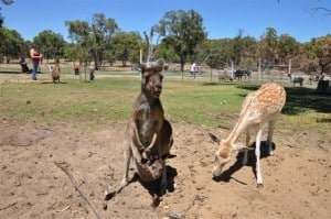 A Roo and it's Joey